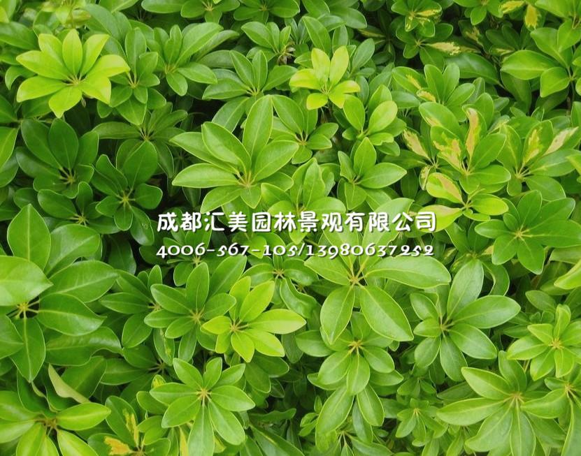 鸭脚木-鸭脚木-绿化常用灌木系列-产品展示-成都汇美